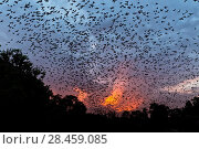 Купить «Mexican free-tailed bats (Tadarida brasiliensis) leaving maternity colony at night to feed, Bracken Cave, San Antonio, Texas, USA, June. Bracken Cave is the worlds largest bat maternity colony.», фото № 28459085, снято 19 июня 2018 г. (c) Nature Picture Library / Фотобанк Лори