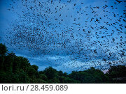 Купить «Mexican free-tailed bats (Tadarida brasiliensis) leaving maternity colony at night to feed, Bracken Cave, San Antonio, Texas, USA, June. Bracken Cave is the worlds largest bat maternity colony.», фото № 28459089, снято 19 июня 2018 г. (c) Nature Picture Library / Фотобанк Лори