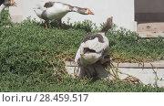 Купить «Homemade geese are walking on grass», видеоролик № 28459517, снято 17 мая 2018 г. (c) Юлия Машкова / Фотобанк Лори