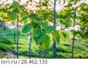 Купить «Ветка осины обыкновенной (Populus tremula, Тополь дрожащий)», фото № 28462133, снято 8 мая 2018 г. (c) Алёшина Оксана / Фотобанк Лори