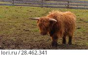 Купить «Highland cattle are Scottish cattle breed», видеоролик № 28462341, снято 22 сентября 2017 г. (c) BestPhotoStudio / Фотобанк Лори