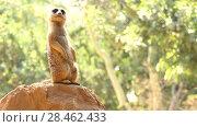 Купить «meerkat or suricate (Suricata suricatta)», видеоролик № 28462433, снято 29 сентября 2017 г. (c) BestPhotoStudio / Фотобанк Лори