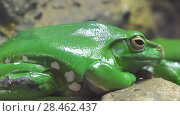 Купить «Chinese flying frog (Rhacophorus dennysi)», видеоролик № 28462437, снято 27 января 2018 г. (c) BestPhotoStudio / Фотобанк Лори