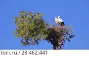 Купить «storks sit in nest that is on tall tree», видеоролик № 28462441, снято 11 февраля 2018 г. (c) BestPhotoStudio / Фотобанк Лори