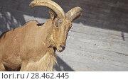 Купить «Barbary sheep (Ammotragus lervia) is caprid», видеоролик № 28462445, снято 19 февраля 2018 г. (c) BestPhotoStudio / Фотобанк Лори