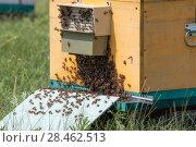 Купить «Пчелы у входа в улей», фото № 28462513, снято 8 июля 2017 г. (c) Василий Князев / Фотобанк Лори