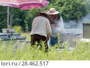 Два пасечника вынимают соты с медом из улья (2017 год). Редакционное фото, фотограф Василий Князев / Фотобанк Лори