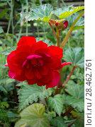 Купить «Красная клубневая бегония цветет в саду», фото № 28462761, снято 9 сентября 2017 г. (c) Елена Коромыслова / Фотобанк Лори