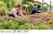 Купить «Man and woman florists working in sunny greenhouse full of flowers», видеоролик № 28467397, снято 27 апреля 2018 г. (c) Яков Филимонов / Фотобанк Лори