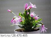 Купить «Houseplant with pink flowers», фото № 28470405, снято 6 апреля 2018 г. (c) Типляшина Евгения / Фотобанк Лори
