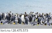 Купить «King Penguins at South Georgia», видеоролик № 28475573, снято 5 февраля 2018 г. (c) Vladimir / Фотобанк Лори