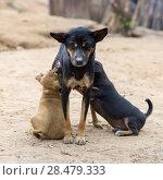 Купить «Dog nursing puppies, Ban Gnoyhai, Luang Prabang, Laos», фото № 28479333, снято 18 июня 2019 г. (c) Ingram Publishing / Фотобанк Лори
