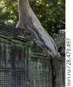 Купить «Spung tree at Ta Prohm Temple, Angkor Archaeological Park, Krong Siem Reap, Siem Reap, Cambodia», фото № 28479497, снято 20 октября 2018 г. (c) Ingram Publishing / Фотобанк Лори