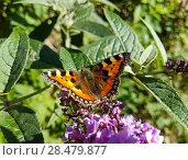 Купить «Small Tortoiseshell butterfly on Lilac Flower», фото № 28479877, снято 27 августа 2017 г. (c) Ingram Publishing / Фотобанк Лори