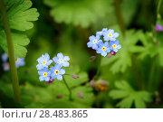 Купить «Цветы незабудки. Forget-me-not flowers», фото № 28483865, снято 16 мая 2018 г. (c) Игорь Струков / Фотобанк Лори