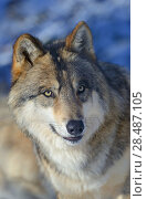 Купить «North-western wolf (Canis lupus occidentalis) portrait, captive occurs in  northwestern USA and Canada.», фото № 28487105, снято 22 августа 2018 г. (c) Nature Picture Library / Фотобанк Лори