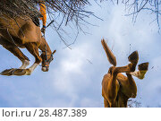 Купить «Point-to-Point horse racing, low angle view of racehorse jumping fence, Monmouthshire, Wales, UK. March 2014.», фото № 28487389, снято 15 августа 2018 г. (c) Nature Picture Library / Фотобанк Лори