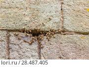 Купить «European honey bee (Apis mellifera),  wild hive in wall of castle. Raglan Castle Monmouthshire, Wales, UK. July.», фото № 28487405, снято 18 августа 2018 г. (c) Nature Picture Library / Фотобанк Лори