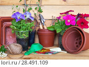 Купить «Cultivation of decorative petunias seedlings. Seeds, spatulas, pots and  blooming plants on a wooden table. Rustic still life», фото № 28491109, снято 26 мая 2018 г. (c) Виктория Катьянова / Фотобанк Лори