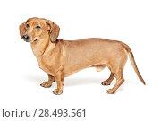 Купить «Cute brown dachshund dog isolated on white background», фото № 28493561, снято 19 июня 2019 г. (c) Ingram Publishing / Фотобанк Лори