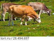 Купить «Alps landscape with cows on pasture», фото № 28494697, снято 14 августа 2012 г. (c) Ingram Publishing / Фотобанк Лори