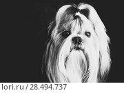 Купить «Shih tzu dog black and white film style portrait», фото № 28494737, снято 5 ноября 2013 г. (c) Ingram Publishing / Фотобанк Лори