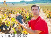 Купить «Winemaker harvesting Bobal grapes in mediterranean vineyard fields», фото № 28495437, снято 17 октября 2013 г. (c) Ingram Publishing / Фотобанк Лори