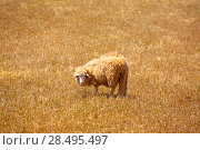 Купить «Menorca sheep grazing in golden dried meadow at Balearic Islands», фото № 28495497, снято 25 мая 2013 г. (c) Ingram Publishing / Фотобанк Лори
