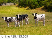 Menorca Friesian cow cattle grazing in green meadow at Balearic Islands of Spain. Стоковое фото, фотограф Tono Balaguer / Ingram Publishing / Фотобанк Лори