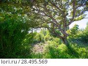 Купить «Menorca oak tree forest in northern coast near Cala Pilar at Balearic Islands», фото № 28495569, снято 29 мая 2013 г. (c) Ingram Publishing / Фотобанк Лори