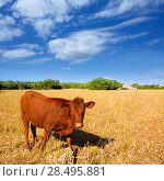 Купить «Menorca brown cow grazing in golden field near Ciutadella at Balearic islands», фото № 28495881, снято 25 мая 2013 г. (c) Ingram Publishing / Фотобанк Лори