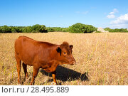 Купить «Menorca brown cow grazing in golden field near Ciutadella at Balearic islands», фото № 28495889, снято 25 мая 2013 г. (c) Ingram Publishing / Фотобанк Лори