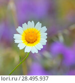Купить «Menorca spring daisy white and yellow wild flowers in Balearic islands», фото № 28495937, снято 27 мая 2013 г. (c) Ingram Publishing / Фотобанк Лори