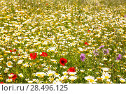 Купить «Menorca spring field with poppies and daisy flowers in Balearic Islands», фото № 28496125, снято 30 мая 2013 г. (c) Ingram Publishing / Фотобанк Лори