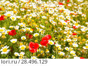 Купить «Menorca spring field with poppies and daisy flowers in Balearic Islands», фото № 28496129, снято 30 мая 2013 г. (c) Ingram Publishing / Фотобанк Лори