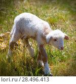Купить «Baby lamb newborn sheep standing walking on green grass field», фото № 28496413, снято 25 мая 2013 г. (c) Ingram Publishing / Фотобанк Лори