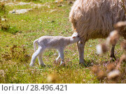 Купить «Mother sheep and baby lamb nursing in Menorca field», фото № 28496421, снято 25 мая 2013 г. (c) Ingram Publishing / Фотобанк Лори