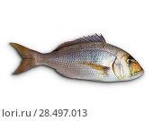 Купить «Dentex Dentex fish sparidae from Mediterranean sea isolated in white», фото № 28497013, снято 23 августа 2013 г. (c) Ingram Publishing / Фотобанк Лори