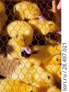 Купить «Ducklings ducks in yellow and black under wire mesh at cattle fair», фото № 28497021, снято 6 октября 2013 г. (c) Ingram Publishing / Фотобанк Лори