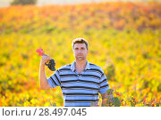 Купить «Farmer man in vineyard harvest autumn leaves in mediterranean field», фото № 28497045, снято 11 октября 2013 г. (c) Ingram Publishing / Фотобанк Лори