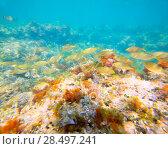 Купить «Mediterranean underwater with salema fish school in spain», фото № 28497241, снято 22 августа 2013 г. (c) Ingram Publishing / Фотобанк Лори