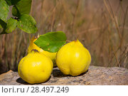 Купить «Quince fruit still image over stone in nature outdoor», фото № 28497249, снято 13 октября 2013 г. (c) Ingram Publishing / Фотобанк Лори