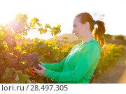 Купить «Farmer woman in vineyard harvest autumn leaves in mediterranean field sunset», фото № 28497305, снято 11 октября 2013 г. (c) Ingram Publishing / Фотобанк Лори