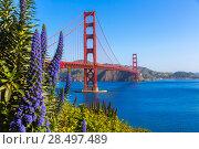 Golden Gate Bridge San Francisco purple flowers Echium candicans in California (2013 год). Стоковое фото, фотограф Tono Balaguer / Ingram Publishing / Фотобанк Лори