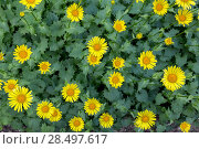 Купить «Дороникум (козульник) цветет в саду. Цветочный фон из желтых ромашек», фото № 28497617, снято 31 мая 2018 г. (c) Наталья Осипова / Фотобанк Лори