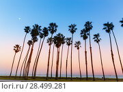 Купить «California sunset Palm tree rows in Santa Barbara US», фото № 28499281, снято 23 апреля 2013 г. (c) Ingram Publishing / Фотобанк Лори