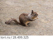 Купить «California Ground Squirrel eating tourist biscuit in Pacific Highway US», фото № 28499325, снято 23 апреля 2013 г. (c) Ingram Publishing / Фотобанк Лори