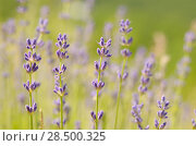 Купить «Lavender flowers bloom summer time», фото № 28500325, снято 8 июня 2012 г. (c) Ingram Publishing / Фотобанк Лори