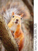 Купить «Red squirrel on the pine branch», фото № 28500725, снято 24 марта 2019 г. (c) Ingram Publishing / Фотобанк Лори