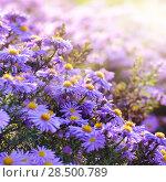 Купить «Violet asters flowers over background», фото № 28500789, снято 7 октября 2012 г. (c) Ingram Publishing / Фотобанк Лори